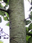 """Zitter-Pappel - Populus tremula; Bildquelle: <a href=""""https://www.pflanzen-deutschland.de/quellen.php?bild_quelle=Wikipedia User Rasbak"""">Wikipedia User Rasbak</a>; Bildlizenz: <a href=""""https://creativecommons.org/licenses/by-sa/3.0/deed.de"""" target=_blank title=""""Namensnennung - Weitergabe unter gleichen Bedingungen 3.0 Unported (CC BY-SA 3.0)"""">CC BY-SA 3.0</a>;"""