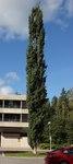 """Zitter-Pappel - Populus tremula; Bildquelle: <a href=""""https://www.pflanzen-deutschland.de/quellen.php?bild_quelle=Wikipedia User Abc10"""">Wikipedia User Abc10</a>; Bildlizenz: <a href=""""https://creativecommons.org/licenses/by-sa/3.0/deed.de"""" target=_blank title=""""Namensnennung - Weitergabe unter gleichen Bedingungen 3.0 Unported (CC BY-SA 3.0)"""">CC BY-SA 3.0</a>;"""