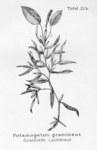 """Grasartiges Laichkraut - Potamogeton gramineus; Bildquelle: <a href=""""https://www.pflanzen-deutschland.de/quellen.php?bild_quelle=Friedrich Oltmanns Pflanzenleben des Schwarzwaldes Tafeln 1927"""">Friedrich Oltmanns Pflanzenleben des Schwarzwaldes Tafeln 1927</a>; Bildlizenz: <a href=""""https://creativecommons.org/licenses/publicdomain/deed.de"""" target=_blank title=""""Public Domain"""">Public Domain</a>;"""