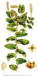 "Durchwachsenes Laichkraut - Potamogeton perfoliatus; Bildquelle: <a href=""https://www.pflanzen-deutschland.de/quellen.php?bild_quelle=Carl Axel Magnus Lindman Bilder ur Nordens Flora 1901-1905"">Carl Axel Magnus Lindman Bilder ur Nordens Flora 1901-1905</a>; Bildlizenz: <a href=""https://creativecommons.org/licenses/publicdomain/deed.de"" target=_blank title=""Public Domain"">Public Domain</a>;"