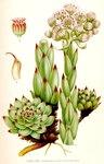 """Dach-Hauswurz - Sempervivum tectorum; Bildquelle: <a href=""""https://www.pflanzen-deutschland.de/quellen.php?bild_quelle=Carl Axel Magnus Lindman Bilder ur Nordens Flora 1901-1905"""">Carl Axel Magnus Lindman Bilder ur Nordens Flora 1901-1905</a>; Bildlizenz: <a href=""""https://creativecommons.org/licenses/publicdomain/deed.de"""" target=_blank title=""""Public Domain"""">Public Domain</a>;"""