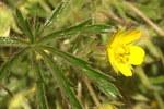 """Sand-Fingerkraut - Potentilla arenaria; Bildquelle: <a href=""""https://www.pflanzen-deutschland.de/quellen.php?bild_quelle=Wikipedia User Sporti"""">Wikipedia User Sporti</a>; Bildlizenz: <a href=""""https://creativecommons.org/licenses/by-sa/3.0/deed.de"""" target=_blank title=""""Namensnennung - Weitergabe unter gleichen Bedingungen 3.0 Unported (CC BY-SA 3.0)"""">CC BY-SA 3.0</a>; <br>Wiki Commons Bildbeschreibung: <a href=""""https://commons.wikimedia.org/wiki/File:Potentilla_arenaria_PID810-3.jpg"""" target=_blank title=""""https://commons.wikimedia.org/wiki/File:Potentilla_arenaria_PID810-3.jpg"""">https://commons.wikimedia.org/wiki/File:Potentilla_arenaria_PID810-3.jpg</a>"""