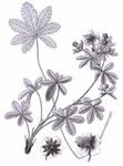 "Mittleres Fingerkraut - Potentilla intermedia; Bildquelle: <a href=""https://www.pflanzen-deutschland.de/quellen.php?bild_quelle=Reichenbach, H.G.L., Iconographia botanica seu plantae criticae, t. 590, fig. 809 1823-1832"">Reichenbach, H.G.L., Iconographia botanica seu plantae criticae, t. 590, fig. 809 1823-1832</a>; Bildlizenz: <a href=""https://creativecommons.org/licenses/publicdomain/deed.de"" target=_blank title=""Public Domain"">Public Domain</a>;"