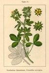 """Norwegisches Fingerkraut - Potentilla norvegica; Bildquelle: <a href=""""https://www.pflanzen-deutschland.de/quellen.php?bild_quelle=Deutschlands Flora in Abbildungen 1796"""">Deutschlands Flora in Abbildungen 1796</a>; Bildlizenz: <a href=""""https://creativecommons.org/licenses/publicdomain/deed.de"""" target=_blank title=""""Public Domain"""">Public Domain</a>;"""