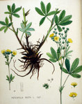 "Hohes Fingerkraut - Potentilla recta; Bildquelle: <a href=""https://www.pflanzen-deutschland.de/quellen.php?bild_quelle=Wikipedia User FloraUploadR"">Wikipedia User FloraUploadR</a>; Bildlizenz: <a href=""https://creativecommons.org/licenses/by-sa/3.0/deed.de"" target=_blank title=""Namensnennung - Weitergabe unter gleichen Bedingungen 3.0 Unported (CC BY-SA 3.0)"">CC BY-SA 3.0</a>;"