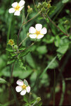 "Felsen-Fingerkraut - Potentilla rupestris; Bildquelle: <a href=""https://www.pflanzen-deutschland.de/quellen.php?bild_quelle=Wikipedia User Fornax"">Wikipedia User Fornax</a>; Bildlizenz: <a href=""https://creativecommons.org/licenses/by-sa/3.0/deed.de"" target=_blank title=""Namensnennung - Weitergabe unter gleichen Bedingungen 3.0 Unported (CC BY-SA 3.0)"">CC BY-SA 3.0</a>; <br>Wiki Commons Bildbeschreibung: <a href=""https://commons.wikimedia.org/wiki/File:Potentilla_rupestris2_eF.jpg"" target=_blank title=""https://commons.wikimedia.org/wiki/File:Potentilla_rupestris2_eF.jpg"">https://commons.wikimedia.org/wiki/File:Potentilla_rupestris2_eF.jpg</a>"