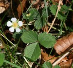 "Erdbeer-Fingerkraut - Potentilla sterilis; Bildquelle: <a href=""https://www.pflanzen-deutschland.de/quellen.php?bild_quelle=Wikipedia User Josve05a"">Wikipedia User Josve05a</a>; Bildlizenz: <a href=""https://creativecommons.org/licenses/by-sa/3.0/deed.de"" target=_blank title=""Namensnennung - Weitergabe unter gleichen Bedingungen 3.0 Unported (CC BY-SA 3.0)"">CC BY-SA 3.0</a>; <br>Wiki Commons Bildbeschreibung: <a href=""https://commons.wikimedia.org/wiki/File:Potentilla_sterilis_(Barren_strawberry)_-_Flickr_-_S._Rae.jpg"" target=_blank title=""https://commons.wikimedia.org/wiki/File:Potentilla_sterilis_(Barren_strawberry)_-_Flickr_-_S._Rae.jpg"">https://commons.wikimedia.org/wiki/File:Potentilla_sterilis_(Barren_strawberry)_-_Flickr_-_S._Rae.jpg</a>"
