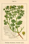 "Niedriges Fingerkraut - Potentilla supina; Bildquelle: <a href=""https://www.pflanzen-deutschland.de/quellen.php?bild_quelle=Deutschlands Flora in Abbildungen, Johann Georg Sturm 1796"">Deutschlands Flora in Abbildungen, Johann Georg Sturm 1796</a>; Bildlizenz: <a href=""https://creativecommons.org/licenses/publicdomain/deed.de"" target=_blank title=""Public Domain"">Public Domain</a>;"