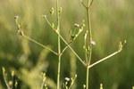 """Lanzettblättriger Froschlöffel - Alisma lanceolatum; Bildquelle: <a href=""""https://www.pflanzen-deutschland.de/quellen.php?bild_quelle=Wikipedia User Yuvalr"""">Wikipedia User Yuvalr</a>; Bildlizenz: <a href=""""https://creativecommons.org/licenses/by-sa/3.0/deed.de"""" target=_blank title=""""Namensnennung - Weitergabe unter gleichen Bedingungen 3.0 Unported (CC BY-SA 3.0)"""">CC BY-SA 3.0</a>; <br>Wiki Commons Bildbeschreibung: <a href=""""https://commons.wikimedia.org/wiki/File:Alisma_lanceolatum_in_rehovot_vernal_pool.JPG"""" target=_blank title=""""https://commons.wikimedia.org/wiki/File:Alisma_lanceolatum_in_rehovot_vernal_pool.JPG"""">https://commons.wikimedia.org/wiki/File:Alisma_lanceolatum_in_rehovot_vernal_pool.JPG</a>"""
