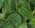 """Alpen-Aurikel - Primula auricula; Bildquelle: <a href=""""https://www.pflanzen-deutschland.de/quellen.php?bild_quelle=Wikipedia User Enrico Blasutto"""">Wikipedia User Enrico Blasutto</a>; Bildlizenz: <a href=""""https://creativecommons.org/licenses/by-sa/3.0/deed.de"""" target=_blank title=""""Namensnennung - Weitergabe unter gleichen Bedingungen 3.0 Unported (CC BY-SA 3.0)"""">CC BY-SA 3.0</a>; <br>Wiki Commons Bildbeschreibung: <a href=""""https://commons.wikimedia.org/wiki/File:Primula_auricula_ENBLA01.jpg"""" target=_blank title=""""https://commons.wikimedia.org/wiki/File:Primula_auricula_ENBLA01.jpg"""">https://commons.wikimedia.org/wiki/File:Primula_auricula_ENBLA01.jpg</a>"""