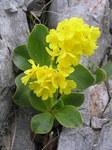 """Alpen-Aurikel - Primula auricula; Bildquelle: <a href=""""https://www.pflanzen-deutschland.de/quellen.php?bild_quelle=Wikipedia User Don Pedro28"""">Wikipedia User Don Pedro28</a>; Bildlizenz: <a href=""""https://creativecommons.org/licenses/by-sa/3.0/deed.de"""" target=_blank title=""""Namensnennung - Weitergabe unter gleichen Bedingungen 3.0 Unported (CC BY-SA 3.0)"""">CC BY-SA 3.0</a>; <br>Wiki Commons Bildbeschreibung: <a href=""""https://commons.wikimedia.org/wiki/File:Primula_auricula9.JPG"""" target=_blank title=""""https://commons.wikimedia.org/wiki/File:Primula_auricula9.JPG"""">https://commons.wikimedia.org/wiki/File:Primula_auricula9.JPG</a>"""