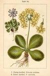 """Alpen-Aurikel - Primula auricula; Bildquelle: <a href=""""https://www.pflanzen-deutschland.de/quellen.php?bild_quelle=Deutschlands Flora in Abbildungen, Johann Georg Sturm 1796"""">Deutschlands Flora in Abbildungen, Johann Georg Sturm 1796</a>; Bildlizenz: <a href=""""https://creativecommons.org/licenses/publicdomain/deed.de"""" target=_blank title=""""Public Domain"""">Public Domain</a>;"""
