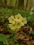 "Hohe Schlüsselblume - Primula elatior; Bildquelle: <a href=""https://www.pflanzen-deutschland.de/quellen.php?bild_quelle=Wikipedia User Biloucommonswiki"">Wikipedia User Biloucommonswiki</a>; Bildlizenz: <a href=""https://creativecommons.org/licenses/by-sa/3.0/deed.de"" target=_blank title=""Namensnennung - Weitergabe unter gleichen Bedingungen 3.0 Unported (CC BY-SA 3.0)"">CC BY-SA 3.0</a>; <br>Wiki Commons Bildbeschreibung: <a href=""https://commons.wikimedia.org/wiki/File:Primula_elatior.jpg"" target=_blank title=""https://commons.wikimedia.org/wiki/File:Primula_elatior.jpg"">https://commons.wikimedia.org/wiki/File:Primula_elatior.jpg</a>"