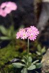 """Mehlprimel - Primula farinosa; Bildquelle: <a href=""""https://www.pflanzen-deutschland.de/quellen.php?bild_quelle=Wikipedia User Ghislain118"""">Wikipedia User Ghislain118</a>; Bildlizenz: <a href=""""https://creativecommons.org/licenses/by-sa/3.0/deed.de"""" target=_blank title=""""Namensnennung - Weitergabe unter gleichen Bedingungen 3.0 Unported (CC BY-SA 3.0)"""">CC BY-SA 3.0</a>;"""