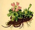 """Zwerg-Schlüsselblume - Primula minima; Bildquelle: <a href=""""https://www.pflanzen-deutschland.de/quellen.php?bild_quelle=Wikipedia User Aroche"""">Wikipedia User Aroche</a>; Bildlizenz: <a href=""""https://creativecommons.org/licenses/by-sa/3.0/deed.de"""" target=_blank title=""""Namensnennung - Weitergabe unter gleichen Bedingungen 3.0 Unported (CC BY-SA 3.0)"""">CC BY-SA 3.0</a>;"""