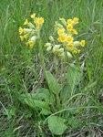 """Echte Schlüsselblume - Primula veris; Bildquelle: © <a href=""""https://www.pflanzen-deutschland.de/quellen.php?bild_quelle=Bönisch 2010"""">Bönisch 2010</a> - <b>All rights reserved</b>"""
