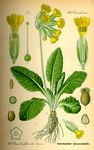 """Echte Schlüsselblume - Primula veris; Bildquelle: <a href=""""https://www.pflanzen-deutschland.de/quellen.php?bild_quelle=Prof. Dr. Otto Wilhelm Thome Flora von Deutschland, Österreich und der Schweiz 1885, Gera, Germany"""">Prof. Dr. Otto Wilhelm Thome Flora von Deutschland, Österreich und der Schweiz 1885, Gera, Germany</a>; Bildlizenz: <a href=""""https://creativecommons.org/licenses/publicdomain/deed.de"""" target=_blank title=""""Public Domain"""">Public Domain</a>;"""