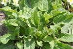 """Stengellose Schlüsselblume - Primula vulgaris; Bildquelle: <a href=""""https://www.pflanzen-deutschland.de/quellen.php?bild_quelle=Wikipedia User Svdmolen"""">Wikipedia User Svdmolen</a>; Bildlizenz: <a href=""""https://creativecommons.org/licenses/by-sa/3.0/deed.de"""" target=_blank title=""""Namensnennung - Weitergabe unter gleichen Bedingungen 3.0 Unported (CC BY-SA 3.0)"""">CC BY-SA 3.0</a>; <br>Wiki Commons Bildbeschreibung: <a href=""""https://commons.wikimedia.org/wiki/File:Primula_vulgaris-03_(xndr).jpg"""" target=_blank title=""""https://commons.wikimedia.org/wiki/File:Primula_vulgaris-03_(xndr).jpg"""">https://commons.wikimedia.org/wiki/File:Primula_vulgaris-03_(xndr).jpg</a>"""
