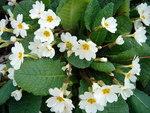 """Stengellose Schlüsselblume - Primula vulgaris; Bildquelle: <a href=""""https://www.pflanzen-deutschland.de/quellen.php?bild_quelle=Wikipedia User Karduelis"""">Wikipedia User Karduelis</a>; Bildlizenz: <a href=""""https://creativecommons.org/licenses/by-sa/3.0/deed.de"""" target=_blank title=""""Namensnennung - Weitergabe unter gleichen Bedingungen 3.0 Unported (CC BY-SA 3.0)"""">CC BY-SA 3.0</a>;"""