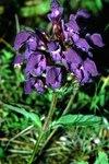 """Großblütige Braunelle - Prunella grandiflora; Bildquelle: <a href=""""https://www.pflanzen-deutschland.de/quellen.php?bild_quelle=Wikipedia User Fornax"""">Wikipedia User Fornax</a>; Bildlizenz: <a href=""""https://creativecommons.org/licenses/by-sa/3.0/deed.de"""" target=_blank title=""""Namensnennung - Weitergabe unter gleichen Bedingungen 3.0 Unported (CC BY-SA 3.0)"""">CC BY-SA 3.0</a>; <br>Wiki Commons Bildbeschreibung: <a href=""""http://commons.wikimedia.org/wiki/File:Prunella_grandiflora1_eF.jpg"""" target=_blank title=""""http://commons.wikimedia.org/wiki/File:Prunella_grandiflora1_eF.jpg"""">http://commons.wikimedia.org/wiki/File:Prunella_grandiflora1_eF.jpg</a>"""