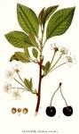 """Wilde Vogelkirsche - Prunus avium; Bildquelle: <a href=""""https://www.pflanzen-deutschland.de/quellen.php?bild_quelle=Bilder ur Nordens Flora"""">Bilder ur Nordens Flora</a>; Bildlizenz: <a href=""""https://creativecommons.org/licenses/publicdomain/deed.de"""" target=_blank title=""""Public Domain"""">Public Domain</a>;"""