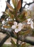 """Kirschpflaume - Prunus cerasifera; Bildquelle: <a href=""""https://www.pflanzen-deutschland.de/quellen.php?bild_quelle=Wikipedia User KENPEI"""">Wikipedia User KENPEI</a>; Bildlizenz: <a href=""""https://creativecommons.org/licenses/by-sa/3.0/deed.de"""" target=_blank title=""""Namensnennung - Weitergabe unter gleichen Bedingungen 3.0 Unported (CC BY-SA 3.0)"""">CC BY-SA 3.0</a>;"""