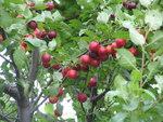 """Kirschpflaume - Prunus cerasifera; Bildquelle: <a href=""""https://www.pflanzen-deutschland.de/quellen.php?bild_quelle=Wikipedia User Bogdan"""">Wikipedia User Bogdan</a>; Bildlizenz: <a href=""""https://creativecommons.org/licenses/by-sa/3.0/deed.de"""" target=_blank title=""""Namensnennung - Weitergabe unter gleichen Bedingungen 3.0 Unported (CC BY-SA 3.0)"""">CC BY-SA 3.0</a>;"""