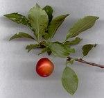 """Kirschpflaume - Prunus cerasifera; Bildquelle: <a href=""""https://www.pflanzen-deutschland.de/quellen.php?bild_quelle=Leo Michels, Untereisesheim"""">Leo Michels, Untereisesheim</a>; Bildlizenz: <a href=""""https://creativecommons.org/licenses/by-sa/3.0/deed.de"""" target=_blank title=""""Namensnennung - Weitergabe unter gleichen Bedingungen 3.0 Unported (CC BY-SA 3.0)"""">CC BY-SA 3.0</a>;"""