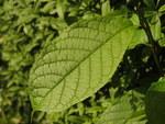 """Pflaume - Prunus domestica; Bildquelle: <a href=""""https://www.pflanzen-deutschland.de/quellen.php?bild_quelle=Wikipedia User Tm"""">Wikipedia User Tm</a>; Bildlizenz: <a href=""""https://creativecommons.org/licenses/by-sa/3.0/deed.de"""" target=_blank title=""""Namensnennung - Weitergabe unter gleichen Bedingungen 3.0 Unported (CC BY-SA 3.0)"""">CC BY-SA 3.0</a>; <br>Wiki Commons Bildbeschreibung: <a href=""""https://commons.wikimedia.org/wiki/File:Prunus_domestica_(14014811180).jpg"""" target=_blank title=""""https://commons.wikimedia.org/wiki/File:Prunus_domestica_(14014811180).jpg"""">https://commons.wikimedia.org/wiki/File:Prunus_domestica_(14014811180).jpg</a>"""