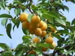 """Pflaume - Prunus domestica; Bildquelle: <a href=""""https://www.pflanzen-deutschland.de/quellen.php?bild_quelle=Wikipedia User Hiuppo"""">Wikipedia User Hiuppo</a>; Bildlizenz: <a href=""""https://creativecommons.org/licenses/by-sa/3.0/deed.de"""" target=_blank title=""""Namensnennung - Weitergabe unter gleichen Bedingungen 3.0 Unported (CC BY-SA 3.0)"""">CC BY-SA 3.0</a>; <br>Wiki Commons Bildbeschreibung: <a href=""""https://commons.wikimedia.org/wiki/File:Prunus_domestica.JPG"""" target=_blank title=""""https://commons.wikimedia.org/wiki/File:Prunus_domestica.JPG"""">https://commons.wikimedia.org/wiki/File:Prunus_domestica.JPG</a>"""