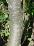 """Pflaume - Prunus domestica; Bildquelle: <a href=""""https://www.pflanzen-deutschland.de/quellen.php?bild_quelle=Leo Michels, Untereisesheim"""">Leo Michels, Untereisesheim</a>; Bildlizenz: <a href=""""https://creativecommons.org/licenses/by-sa/3.0/deed.de"""" target=_blank title=""""Namensnennung - Weitergabe unter gleichen Bedingungen 3.0 Unported (CC BY-SA 3.0)"""">CC BY-SA 3.0</a>;"""