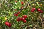 """Zwerg-Weichsel - Prunus fruticosa; Bildquelle: <a href=""""https://www.pflanzen-deutschland.de/quellen.php?bild_quelle=Wikipedia User HermannSchachner"""">Wikipedia User HermannSchachner</a>; Bildlizenz: <a href=""""https://creativecommons.org/licenses/publicdomain/deed.de"""" target=_blank title=""""Public Domain"""">Public Domain</a>;"""