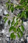 """Stein-Weichsel - Prunus mahaleb; Bildquelle: <a href=""""https://www.pflanzen-deutschland.de/quellen.php?bild_quelle=Wikipedia User File Upload Bot Magnus Manske"""">Wikipedia User File Upload Bot Magnus Manske</a>; Bildlizenz: <a href=""""https://creativecommons.org/licenses/by-sa/3.0/deed.de"""" target=_blank title=""""Namensnennung - Weitergabe unter gleichen Bedingungen 3.0 Unported (CC BY-SA 3.0)"""">CC BY-SA 3.0</a>; <br>Wiki Commons Bildbeschreibung: <a href=""""https://commons.wikimedia.org/wiki/File:Prunus_mahaleb_(7408722034).jpg"""" target=_blank title=""""https://commons.wikimedia.org/wiki/File:Prunus_mahaleb_(7408722034).jpg"""">https://commons.wikimedia.org/wiki/File:Prunus_mahaleb_(7408722034).jpg</a>"""
