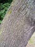 """Stein-Weichsel - Prunus mahaleb; Bildquelle: <a href=""""https://www.pflanzen-deutschland.de/quellen.php?bild_quelle=Wikipedia User Athenchen"""">Wikipedia User Athenchen</a>; Bildlizenz: <a href=""""https://creativecommons.org/licenses/by-sa/3.0/deed.de"""" target=_blank title=""""Namensnennung - Weitergabe unter gleichen Bedingungen 3.0 Unported (CC BY-SA 3.0)"""">CC BY-SA 3.0</a>; <br>Wiki Commons Bildbeschreibung: <a href=""""https://commons.wikimedia.org/wiki/File:Prunus_mahaleb4.jpg"""" target=_blank title=""""https://commons.wikimedia.org/wiki/File:Prunus_mahaleb4.jpg"""">https://commons.wikimedia.org/wiki/File:Prunus_mahaleb4.jpg</a>"""