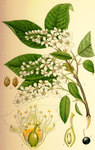 "Traubenkirsche - Prunus padus; Bildquelle: <a href=""https://www.pflanzen-deutschland.de/quellen.php?bild_quelle=Wikipedia User Nicke L"">Wikipedia User Nicke L</a>; Bildlizenz: <a href=""https://creativecommons.org/licenses/by-sa/3.0/deed.de"" target=_blank title=""Namensnennung - Weitergabe unter gleichen Bedingungen 3.0 Unported (CC BY-SA 3.0)"">CC BY-SA 3.0</a>;"