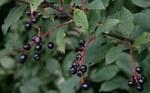 """Traubenkirsche - Prunus padus; Bildquelle: <a href=""""https://www.pflanzen-deutschland.de/quellen.php?bild_quelle=Wikipedia User GeographBot"""">Wikipedia User GeographBot</a>; Bildlizenz: <a href=""""https://creativecommons.org/licenses/by-sa/2.0/deed.de"""" target=_blank title=""""Namensnennung - Weitergabe unter gleichen Bedingungen 2.0 Unported (CC BY-SA 2.0)"""">CC BY 2.0</a>; <br>Wiki Commons Bildbeschreibung: <a href=""""https://commons.wikimedia.org/wiki/File:Bird_Cherry_(Prunus_padus)_-_geograph.org.uk_-_522527.jpg"""" target=_blank title=""""https://commons.wikimedia.org/wiki/File:Bird_Cherry_(Prunus_padus)_-_geograph.org.uk_-_522527.jpg"""">https://commons.wikimedia.org/wiki/File:Bird_Cherry_(Prunus_padus)_-_geograph.org.uk_-_522527.jpg</a>"""