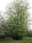 """Traubenkirsche - Prunus padus; Bildquelle: <a href=""""https://www.pflanzen-deutschland.de/quellen.php?bild_quelle=Wikipedia User Rasbak"""">Wikipedia User Rasbak</a>; Bildlizenz: <a href=""""https://creativecommons.org/licenses/by-sa/3.0/deed.de"""" target=_blank title=""""Namensnennung - Weitergabe unter gleichen Bedingungen 3.0 Unported (CC BY-SA 3.0)"""">CC BY-SA 3.0</a>;"""