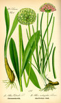 """Kantiger Lauch - Allium angulosum; Bildquelle: <a href=""""https://www.pflanzen-deutschland.de/quellen.php?bild_quelle=Prof. Dr. Otto Wilhelm Thome Flora von Deutschland, Österreich und der Schweiz 1885, Gera, Germany"""">Prof. Dr. Otto Wilhelm Thome Flora von Deutschland, Österreich und der Schweiz 1885, Gera, Germany</a>; Bildlizenz: <a href=""""https://creativecommons.org/licenses/publicdomain/deed.de"""" target=_blank title=""""Public Domain"""">Public Domain</a>;"""