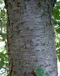 """Späte Traubenkirsche - Prunus serotina; Bildquelle: <a href=""""https://www.pflanzen-deutschland.de/quellen.php?bild_quelle=Wikipedia User Kenraiz"""">Wikipedia User Kenraiz</a>; Bildlizenz: <a href=""""https://creativecommons.org/licenses/by-sa/3.0/deed.de"""" target=_blank title=""""Namensnennung - Weitergabe unter gleichen Bedingungen 3.0 Unported (CC BY-SA 3.0)"""">CC BY-SA 3.0</a>;"""