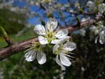 """Schlehe - Prunus spinosa; Bildquelle: <a href=""""https://www.pflanzen-deutschland.de/quellen.php?bild_quelle=Wikipedia User MurielBendel"""">Wikipedia User MurielBendel</a>; Bildlizenz: <a href=""""https://creativecommons.org/licenses/by-sa/3.0/deed.de"""" target=_blank title=""""Namensnennung - Weitergabe unter gleichen Bedingungen 3.0 Unported (CC BY-SA 3.0)"""">CC BY-SA 3.0</a>; <br>Wiki Commons Bildbeschreibung: <a href=""""https://commons.wikimedia.org/wiki/File:Prunus_spinosa_flowers.JPG"""" target=_blank title=""""https://commons.wikimedia.org/wiki/File:Prunus_spinosa_flowers.JPG"""">https://commons.wikimedia.org/wiki/File:Prunus_spinosa_flowers.JPG</a>"""