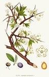 """Schlehe - Prunus spinosa; Bildquelle: <a href=""""https://www.pflanzen-deutschland.de/quellen.php?bild_quelle=Carl Axel Magnus Lindman Bilder ur Nordens Flora 1901-1905"""">Carl Axel Magnus Lindman Bilder ur Nordens Flora 1901-1905</a>; Bildlizenz: <a href=""""https://creativecommons.org/licenses/publicdomain/deed.de"""" target=_blank title=""""Public Domain"""">Public Domain</a>;"""