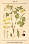 "Gelber Lerchensporn - Pseudofumaria lutea; Bildquelle: <a href=""https://www.pflanzen-deutschland.de/quellen.php?bild_quelle=Deutschlands Flora in Abbildungen 1796"">Deutschlands Flora in Abbildungen 1796</a>; Bildlizenz: <a href=""https://creativecommons.org/licenses/publicdomain/deed.de"" target=_blank title=""Public Domain"">Public Domain</a>;"