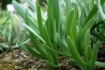 """Schwarzroter Lauch - Allium atropurpureum; Bildquelle: <a href=""""https://www.pflanzen-deutschland.de/quellen.php?bild_quelle=Wikipedia User Der Messer"""">Wikipedia User Der Messer</a>; Bildlizenz: <a href=""""https://creativecommons.org/licenses/by-sa/3.0/deed.de"""" target=_blank title=""""Namensnennung - Weitergabe unter gleichen Bedingungen 3.0 Unported (CC BY-SA 3.0)"""">CC BY-SA 3.0</a>;"""