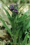 """Schmalblättriges Lungenkraut - Pulmonaria angustifolia; Bildquelle: <a href=""""https://www.pflanzen-deutschland.de/quellen.php?bild_quelle=Wikipedia User Fornax"""">Wikipedia User Fornax</a>; Bildlizenz: <a href=""""https://creativecommons.org/licenses/by-sa/3.0/deed.de"""" target=_blank title=""""Namensnennung - Weitergabe unter gleichen Bedingungen 3.0 Unported (CC BY-SA 3.0)"""">CC BY-SA 3.0</a>;"""