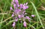 """Gekielter Lauch - Allium carinatum; Bildquelle: <a href=""""https://www.pflanzen-deutschland.de/quellen.php?bild_quelle=Wikipedia User FaleBot"""">Wikipedia User FaleBot</a>; Bildlizenz: <a href=""""https://creativecommons.org/licenses/by-sa/3.0/deed.de"""" target=_blank title=""""Namensnennung - Weitergabe unter gleichen Bedingungen 3.0 Unported (CC BY-SA 3.0)"""">CC BY-SA 3.0</a>;"""