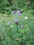 """Gekielter Lauch - Allium carinatum; Bildquelle: <a href=""""https://www.pflanzen-deutschland.de/quellen.php?bild_quelle=Wikipedia User Tigerente"""">Wikipedia User Tigerente</a>; Bildlizenz: <a href=""""https://creativecommons.org/licenses/by-sa/3.0/deed.de"""" target=_blank title=""""Namensnennung - Weitergabe unter gleichen Bedingungen 3.0 Unported (CC BY-SA 3.0)"""">CC BY-SA 3.0</a>;"""