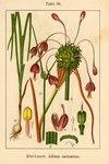 "Gekielter Lauch - Allium carinatum; Bildquelle: <a href=""https://www.pflanzen-deutschland.de/quellen.php?bild_quelle=Deutschlands Flora in Abbildungen 1796"">Deutschlands Flora in Abbildungen 1796</a>; Bildlizenz: <a href=""https://creativecommons.org/licenses/publicdomain/deed.de"" target=_blank title=""Public Domain"">Public Domain</a>;"