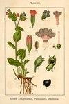 """Geflecktes Lungenkraut - Pulmonaria officinalis; Bildquelle: <a href=""""https://www.pflanzen-deutschland.de/quellen.php?bild_quelle=Deutschlands Flora in Abbildungen 1796"""">Deutschlands Flora in Abbildungen 1796</a>; Bildlizenz: <a href=""""https://creativecommons.org/licenses/publicdomain/deed.de"""" target=_blank title=""""Public Domain"""">Public Domain</a>;"""