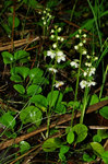 "Rundblättriges Wintergrün - Pyrola rotundifolia; Bildquelle: <a href=""https://www.pflanzen-deutschland.de/quellen.php?bild_quelle=Wikipedia User Kruczy"">Wikipedia User Kruczy</a>; Bildlizenz: <a href=""https://creativecommons.org/licenses/by-sa/3.0/deed.de"" target=_blank title=""Namensnennung - Weitergabe unter gleichen Bedingungen 3.0 Unported (CC BY-SA 3.0)"">CC BY-SA 3.0</a>;"