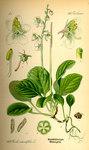 """Rundblättriges Wintergrün - Pyrola rotundifolia; Bildquelle: <a href=""""https://www.pflanzen-deutschland.de/quellen.php?bild_quelle=Prof. Dr. Otto Wilhelm Thome Flora von Deutschland, Österreich und der Schweiz 1885, Gera, Germany"""">Prof. Dr. Otto Wilhelm Thome Flora von Deutschland, Österreich und der Schweiz 1885, Gera, Germany</a>; Bildlizenz: <a href=""""https://creativecommons.org/licenses/publicdomain/deed.de"""" target=_blank title=""""Public Domain"""">Public Domain</a>;"""